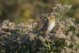 Le Conte's Sparrow.jpg