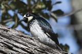 Acorn Woodpecker.jpg