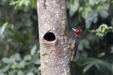 Pale-billed Woodpecker.jpg