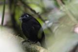Zeledon's Antbird.jpg
