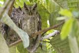 Pacific Screech Owl.jpg