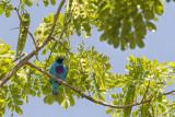 Turquoise Cotinga.jpg