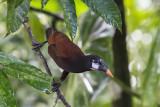 costa_rica_birds
