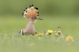 Scarce Birds of the Netherlands