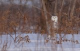 snowy_owl_harfang_des_neiges