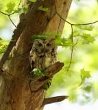owls_hiboux