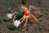 Boxer crab2.JPG