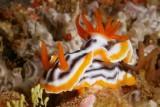 Chromodoris quadricolor1.JPG