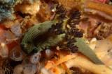 Nembrotha milleri1.JPG