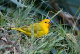 Saffron-Finch.jpg