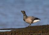 Brent Goose / Brant Goose (Branta bernicla)