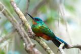 green-tailed-jacamar-2.jpg