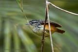 imeri-warbling-antbird.jpg