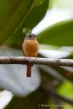 ruddy-tailed-flycatcher.jpg