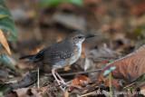 silvered-antbird.jpg
