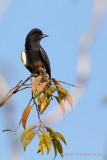 swallow-winged-puffbird.jpg