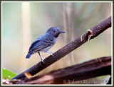 black-chinned-antbird-2.jpg