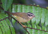 Three-striped Warbler / Reinita Cabecilistada