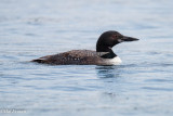 Common Loon:  EOS 70D tryout