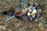 Flamboyant Cuttlefish Hunting