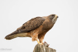 Swainson's Hawk and Meal