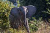 Charging Tuskless Elephant