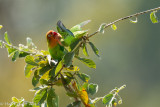 Love Bird, Feeding It's Chick