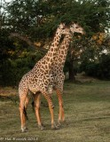 Thornicroft's Giraffes