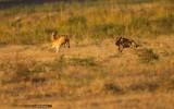 African Wild Dog Pursuing Puku Antelope