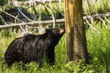 Black Bear Sow