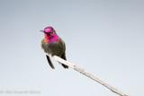 Anna's Hummingbird (Male) (shot with EOS 70D)