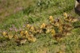 Canada Goslings, Wild Flowers