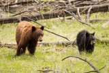 Cinnamon Phase Black Bear Sow, and Black Phase Yearling Cub