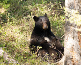 Black Bear Sow, Nursing Two Cubs of the Year