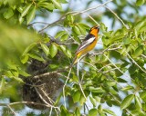 Bullock's Oriole and Nest