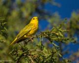 _Yellow Warbler