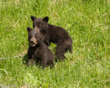 Black Bear Cubs of the Year
