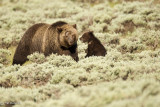 Grizzly Sow and Cub of the Year