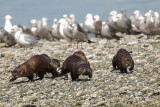 Otter Family on the Prowl