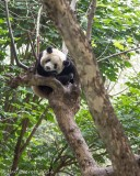 Giant Panda (captive, because I will never see a wild one)