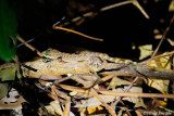 (Cyrtodactylus yoshii) Yoshi's Bent-toed Gecko