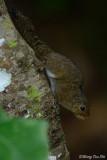 (Sundasciurus lowi) Low's Squirrel