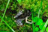 (Leptolalax dringi) Dring's Slender Litter Frog