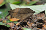 (Kalima limborgii) Leaf Butterfly