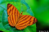 (Chersonesia rahria) Greater Wavy Maplet