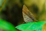 (Amathusia phidippus phidippus)Palm King