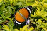 (Danaus chrysippus) Plain Tiger