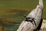 (Notochelys platynota) Malayan Flat-shelled Turtle