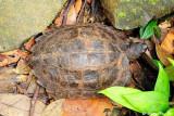 (Cyclemys dentata)Asian Leaf Turtle