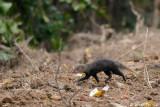 (Herpestes brachyurus) Short-tailed Mongoose